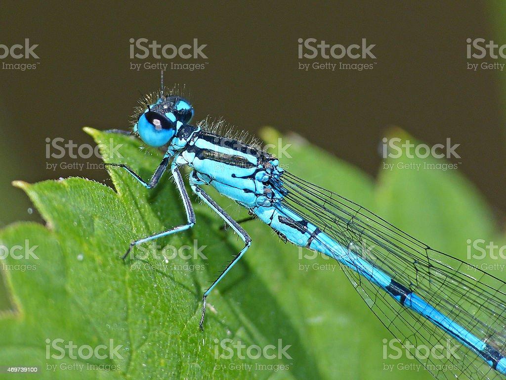Dragonfly turkish damselfly blue up leaf stock photo