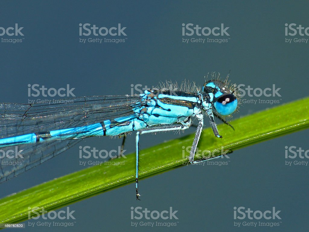 Dragonfly turkish damselfly blue up reed stock photo