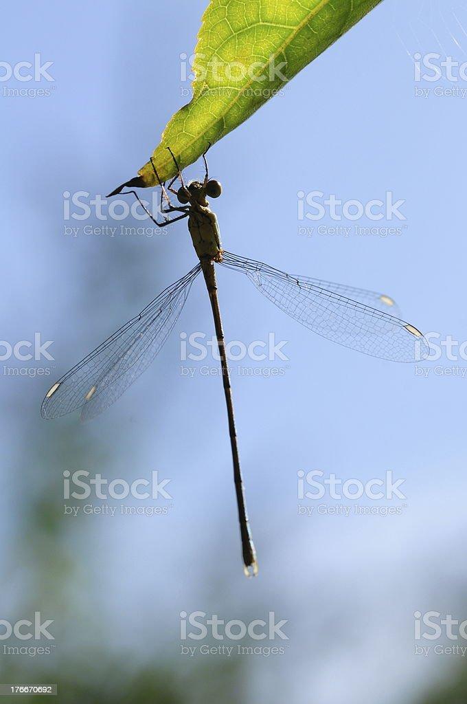 Dragonfly, U.K. royalty-free stock photo