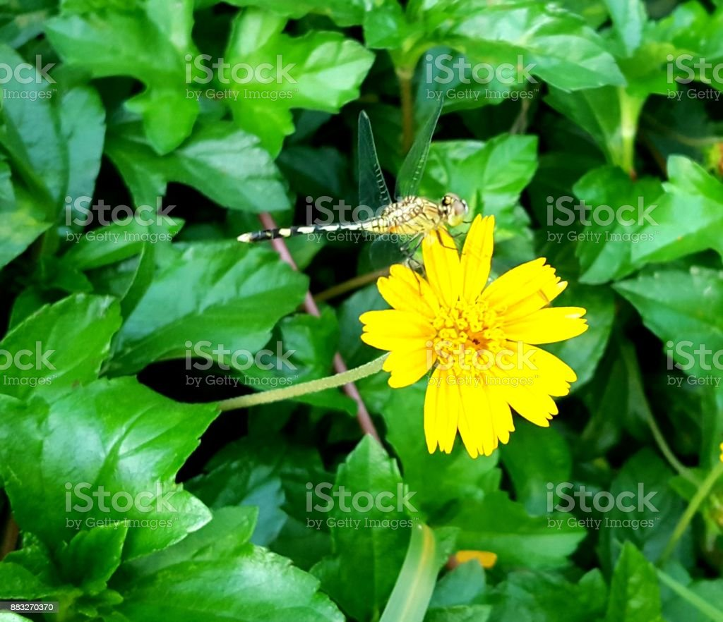 Dragonfly under the yellow flower stock photo