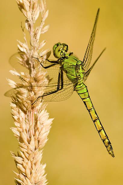 Dragonfly, Western Pondhawk stock photo