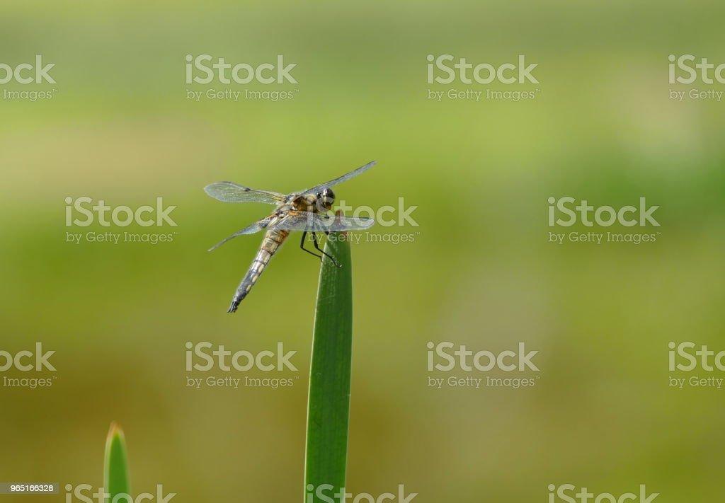 dragonfly wildlife  background zbiór zdjęć royalty-free