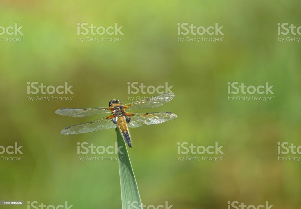dragonfly wildlife  background zbiór zdjęć royalty-free