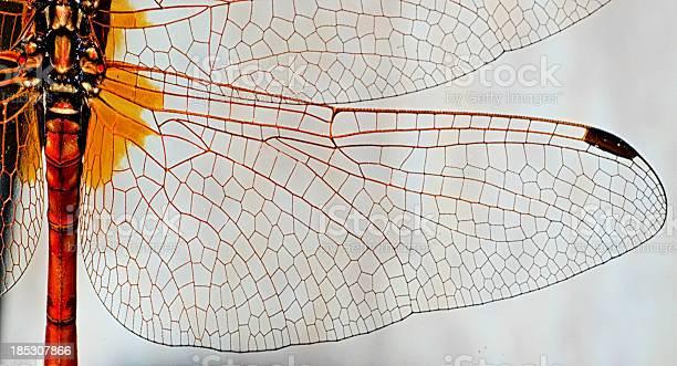 Dragonfly wing picture id185307866?b=1&k=6&m=185307866&s=612x612&h=b20nyqgny05yqgvfq6sl 43 bpy0egtgnifz60nw2xu=