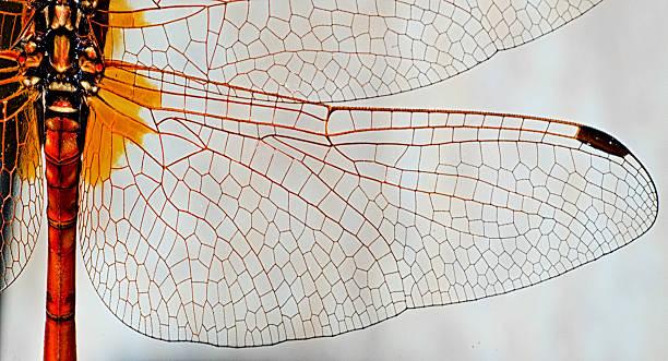 Dragonfly wing picture id185307866?b=1&k=6&m=185307866&s=612x612&w=0&h=9hsisvuvtmzpnlc2l kgnikunvwwx2r i3qkyaxyztm=