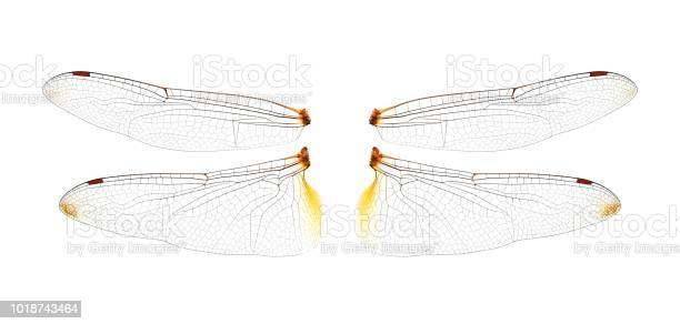 Dragonfly wings on white background picture id1018743464?b=1&k=6&m=1018743464&s=612x612&h=9lhx hrgqz4pilc8w9xy wg0jq9jzxuesxh6qnqjy3y=