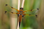 Dragonfly spreading its wings on a stalk