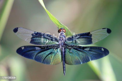 Macro of a Cordulegaster bidentata's wings, isolated on white