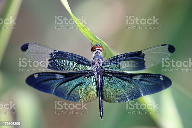 Dragonfly with beautiful wing picture id179108309?b=1&k=6&m=179108309&s=612x612&h=oezf0smbslqwscetpwarenbbmeaktm6vnf9yidfitc4=