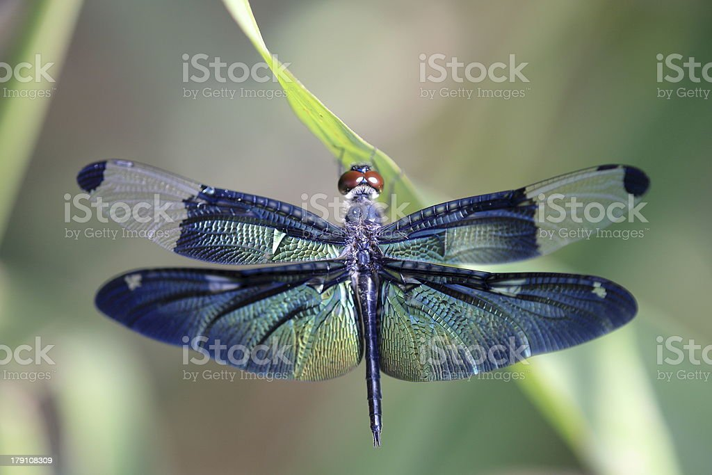 Dragonfly with beautiful wing stock photo