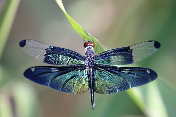 dragonfly with beautiful wing - 蜻蜓 個照片及圖片檔