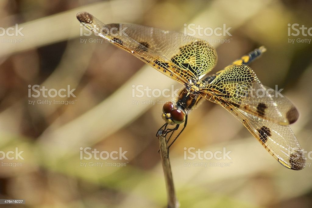 Dragonfly with Beautiful Wings and Eyes stock photo