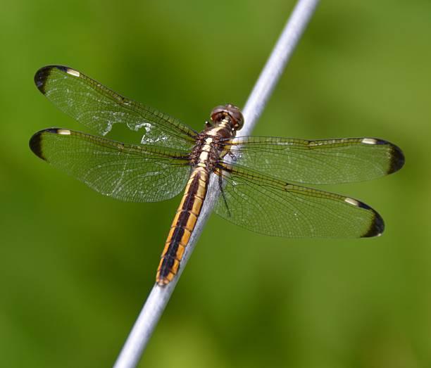libelle mit gebrochenen flügel - wilde hilde stock-fotos und bilder