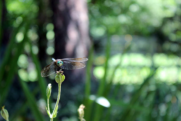 dragonfly with green head perched on flower stem - pam schodt stock photos and pictures