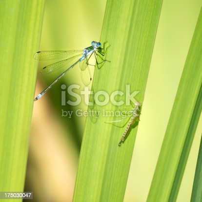Unique macro shot of a Dragonfly Metamorphosis. The Dragon Fly and the Larva sitting on one reed. Unique Detail and Quality!