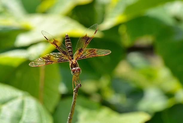 libelle mit schwanz in der luft - wilde hilde stock-fotos und bilder