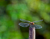 dragonfly with the Latin name Sympetrum vulgatum sits on a stick in the garden