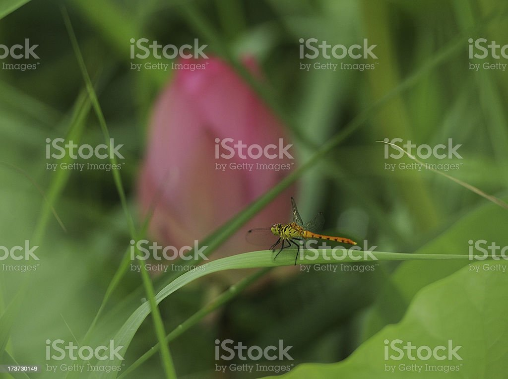 Dragonfly with water lily royalty-free stock photo