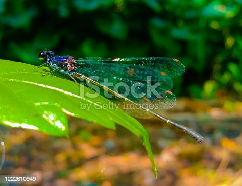 Dragonfly.Black Blue eyed dragonfly found in India in a tropical rain forest and the dragon fly has transparent wings.The dragon fly is sitting on a green leaf.Indian wildlife.