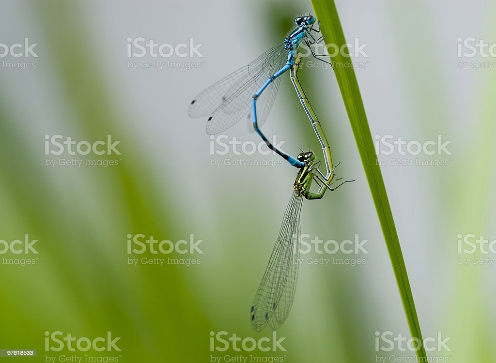 Dragonflys on leave creating a heart 01 royalty-free stock photo