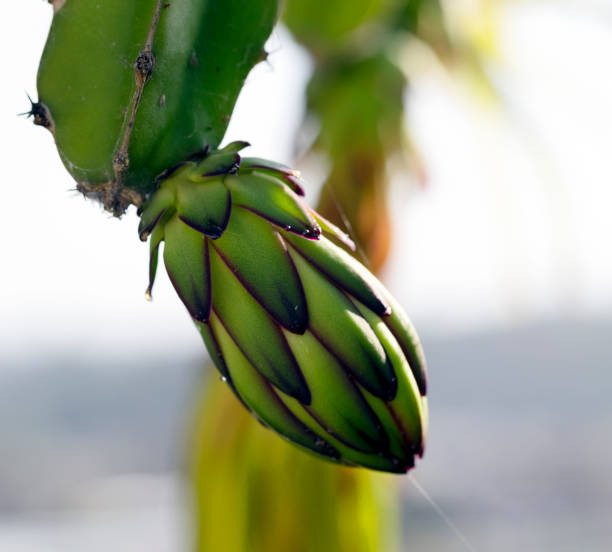 Dragonfruit Baby Bloom stock photo