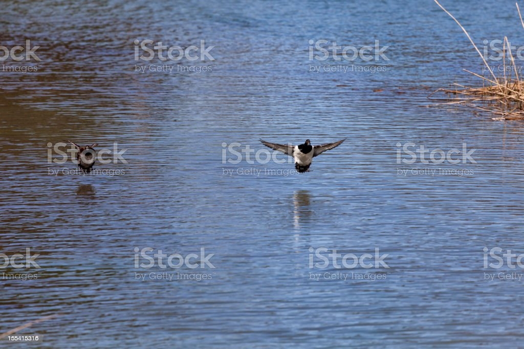 Drake Mallard Duck and his Mate landing stock photo
