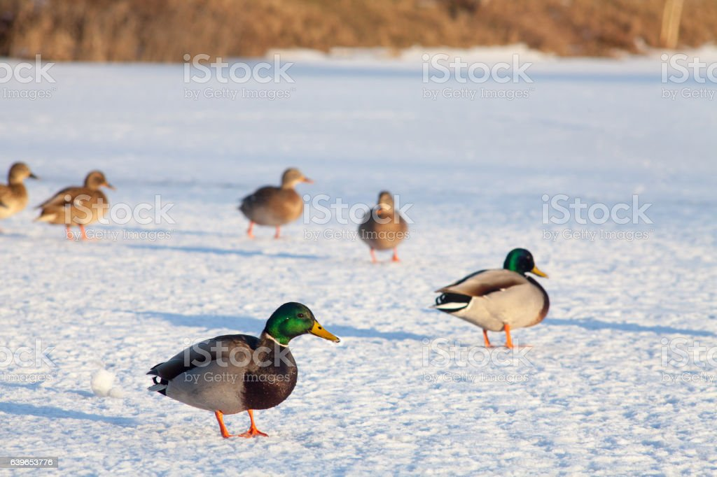 Drake mallard duck on a frozen lake. – zdjęcie