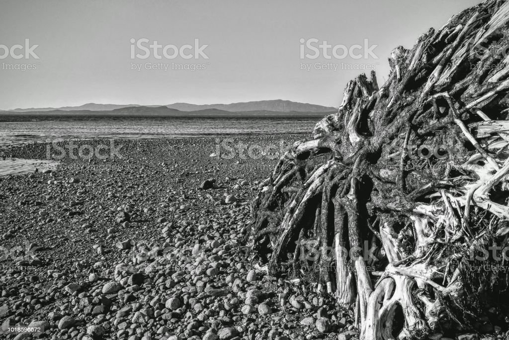 Dramatic black and white photo of exposed sun bleached root stumps on the beach stock photo