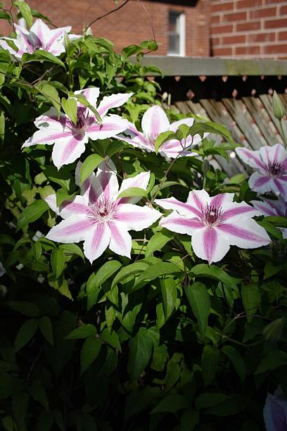Dramatic Clematis stock photo