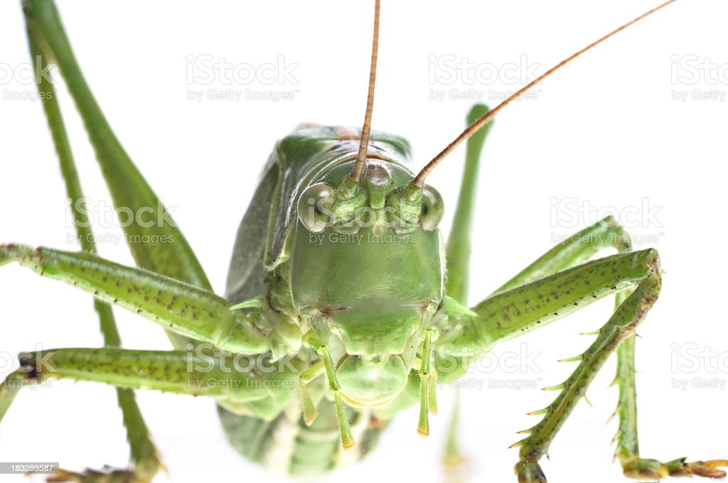 Dramatic Close Up Of A Large Green Grasshopper Orthoptera royalty-free stock photo