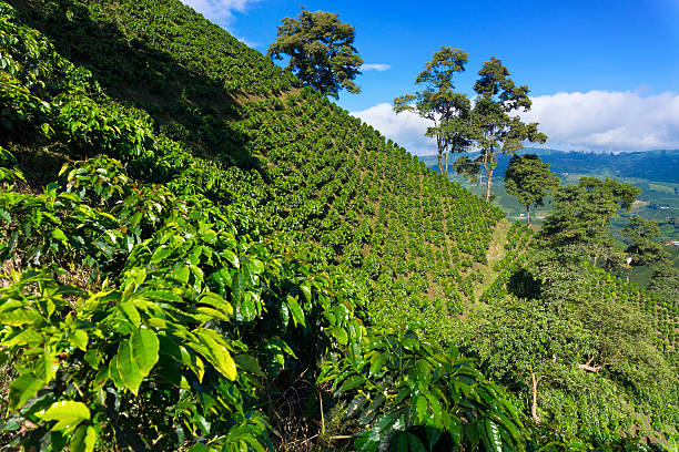 dramatic coffee landscape - colombia stock photos and pictures