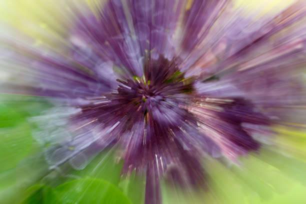 dramatischen explosion unschärfe der lila blume mit zoom-effekt - lila waffe stock-fotos und bilder