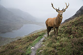 Landscape image of red deer stag by lake and mountain range in Autumn