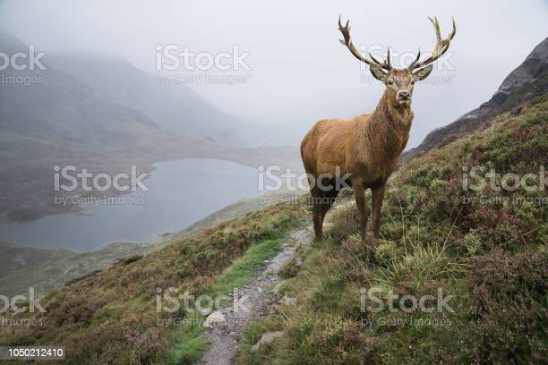 Photo of Dramatic landscape image of red deer stag aboe lake in mountainous landscape in Autumn