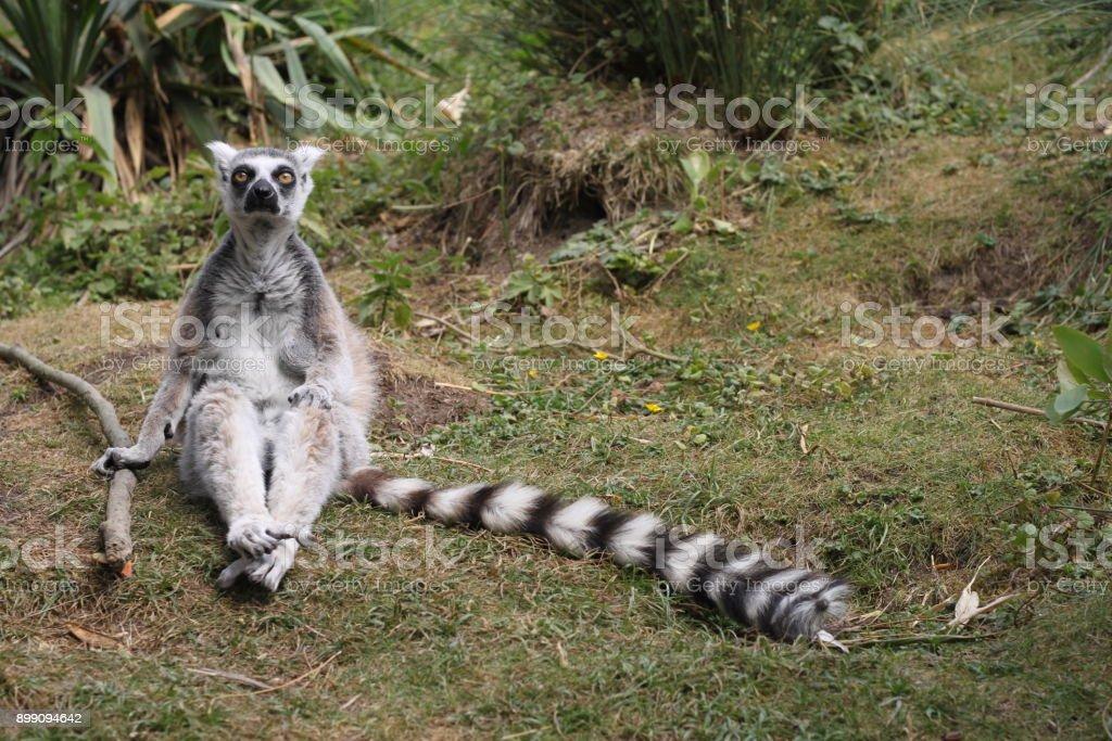 Lémur dramatique - Photo