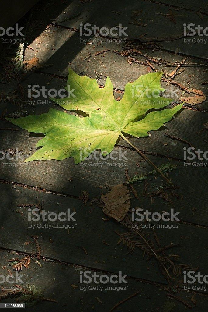 Dramatic Lighting Green Maple Leaf stock photo