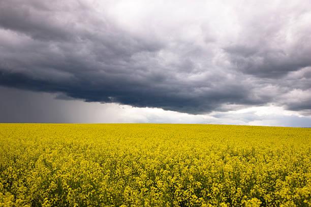 paysage spectaculaire de colza - orage en alsace photos et images de collection