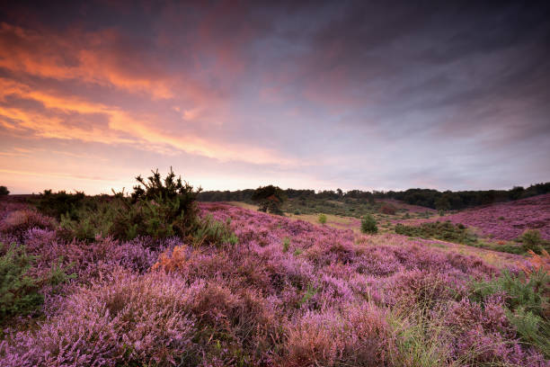 dramatische paarse zomer zonsondergang over bloeiende heide heuvels foto