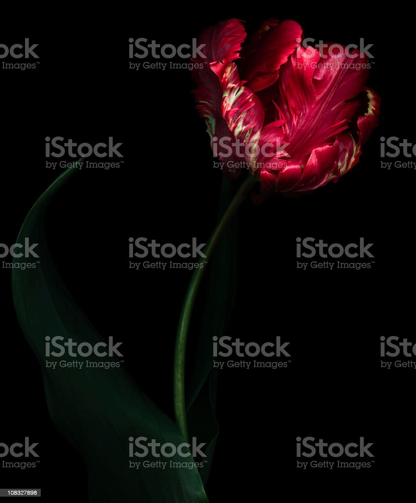 Dramatic red parrot tulip isolated on black background stock photo