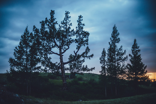 Dramatic scenery with few beautiful trees on hill on background of dark blue cloudy sky. Scenic nature landscape with cedar and larches in dusk. Group of coniferous trees of unusual shape in twilight.