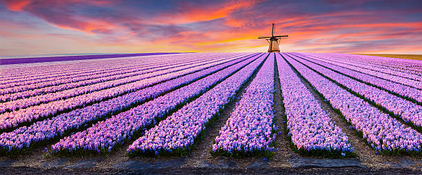 dramatic spring scene on the flowers farm. - netherlands stockfoto's en -beelden