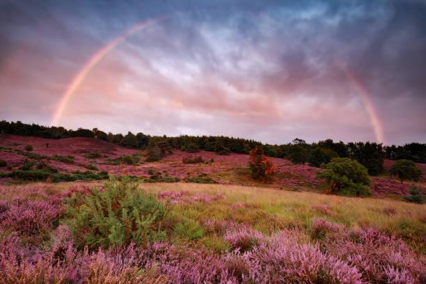 dramatische zonsondergang en regenboog over bloei Heather, Nederland foto