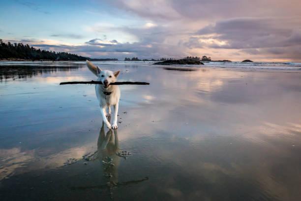 espectacular cielo al atardecer en la playa de chesterman cerca de tofino, isla vancouver. - dog fotografías e imágenes de stock