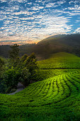 Dramatic sunset sky over beautiful tea gardens on mountain slopes