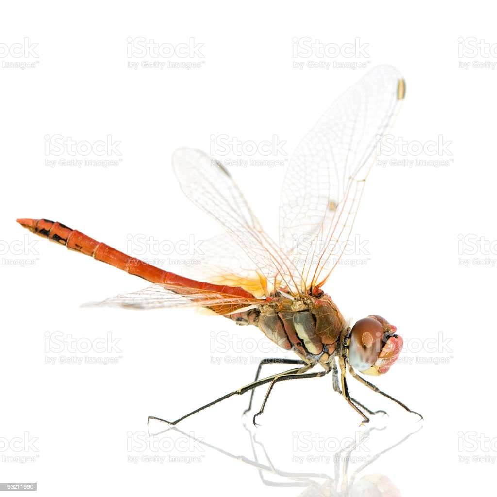 Drangonfly - Sympetrum fonscolombei royalty-free stock photo