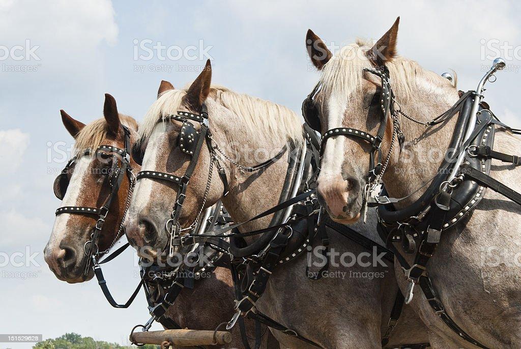 draught horses royalty-free stock photo