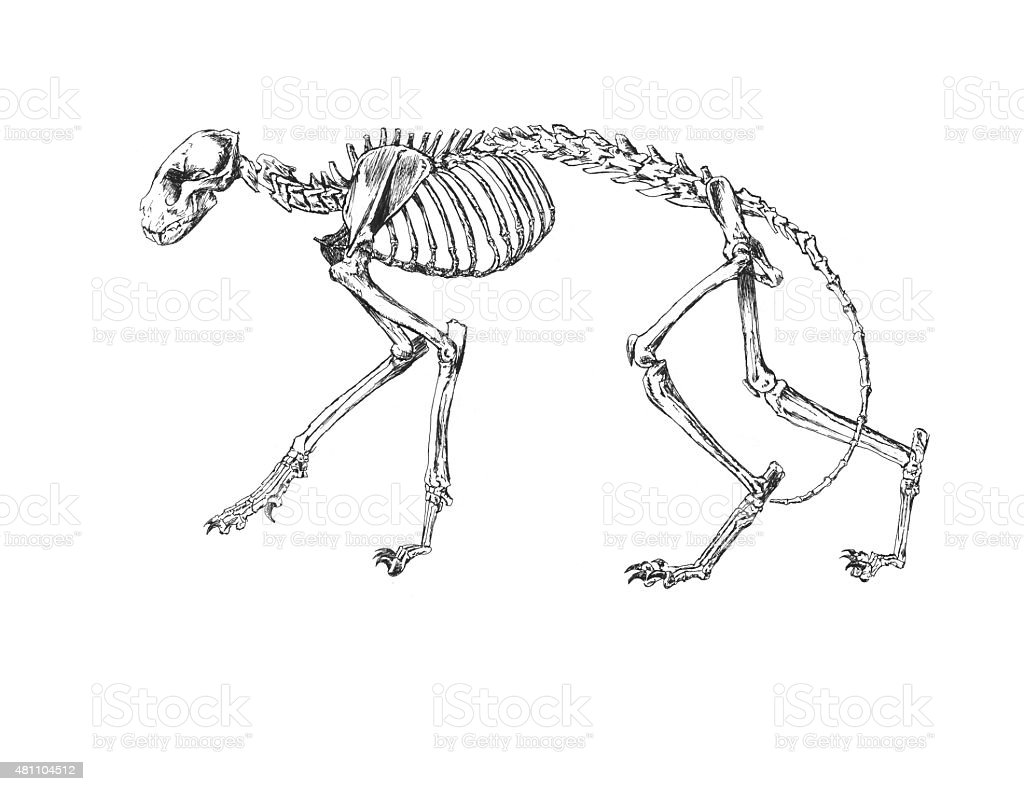 Drawing Of Cat Skeleton Stock Photo More Pictures Of 2015 Istock