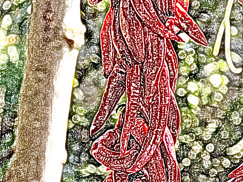 Drawing of the wreath of peppers dried in the shade of the vines, in the backyard