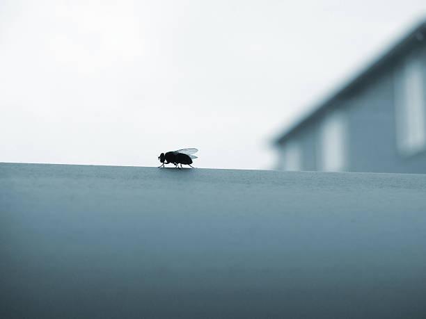 Dreaded Housefly stock photo