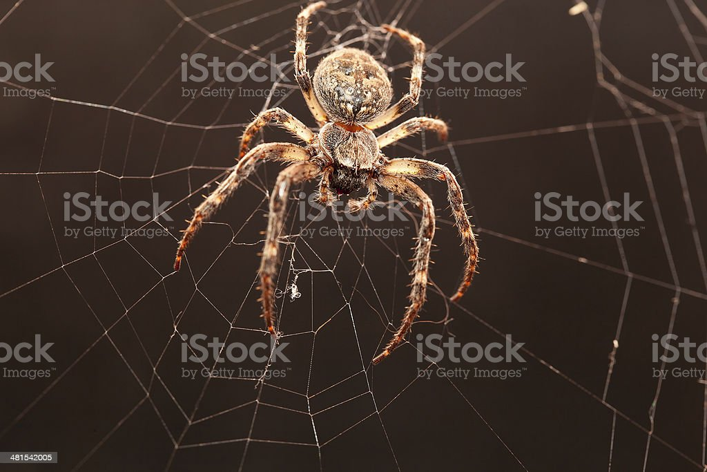 Dreadful Cross spider stock photo